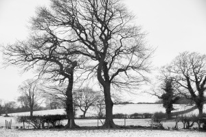 Two trees in snow